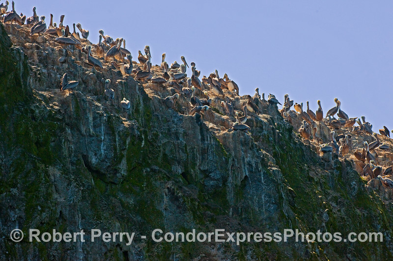 The clifftops of East Anacapa Island, covered with Brown Pelicans (Pelicanus occidentalis).