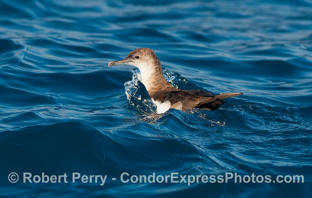 A Black Vented Shearwater (Puffinus opisthomelas) sitting on the water.