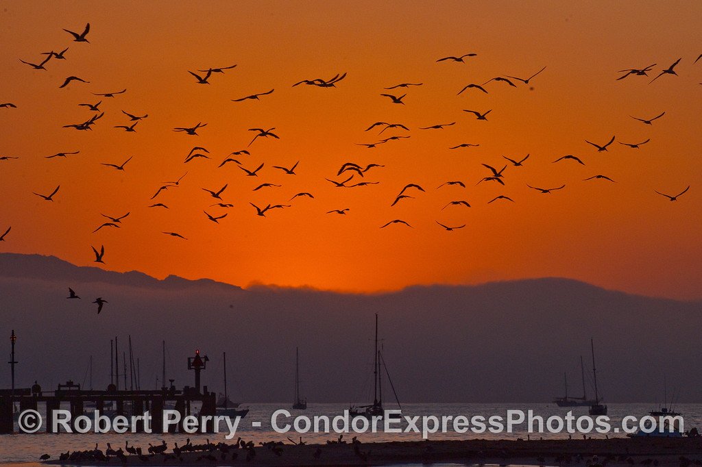 Dawn over Santa Barbara Harbor and the sky is filled with Black Skimmers (Rynchops niger).