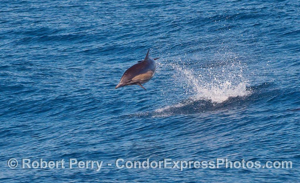 A Common Dolphin (Delphinus capensis) showing off.