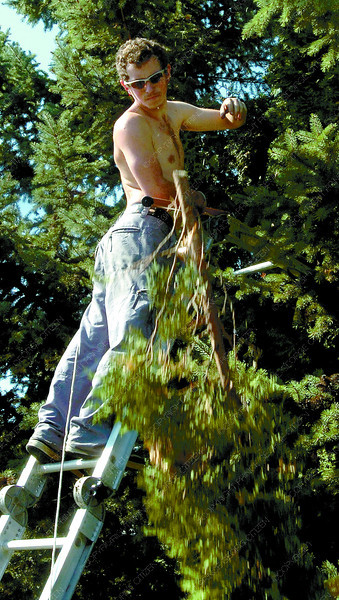 Ron Ross, of Pro-Trim removes a top from a cedar tree at the corner of McRae Avenue and Ospika Boulevard. The cedars and spruces were in need of a makeover. Citizen photo by David Mah