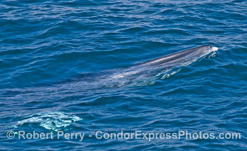 """Sometimes called the """"slinky Minke,""""  a Minke Whale (Balaenoptera acutorostrata) comes up for air."""