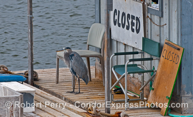 Like a fox guarding a hen house, a Great Blue Heron (Ardea herodias) stands watch over the bait barge.