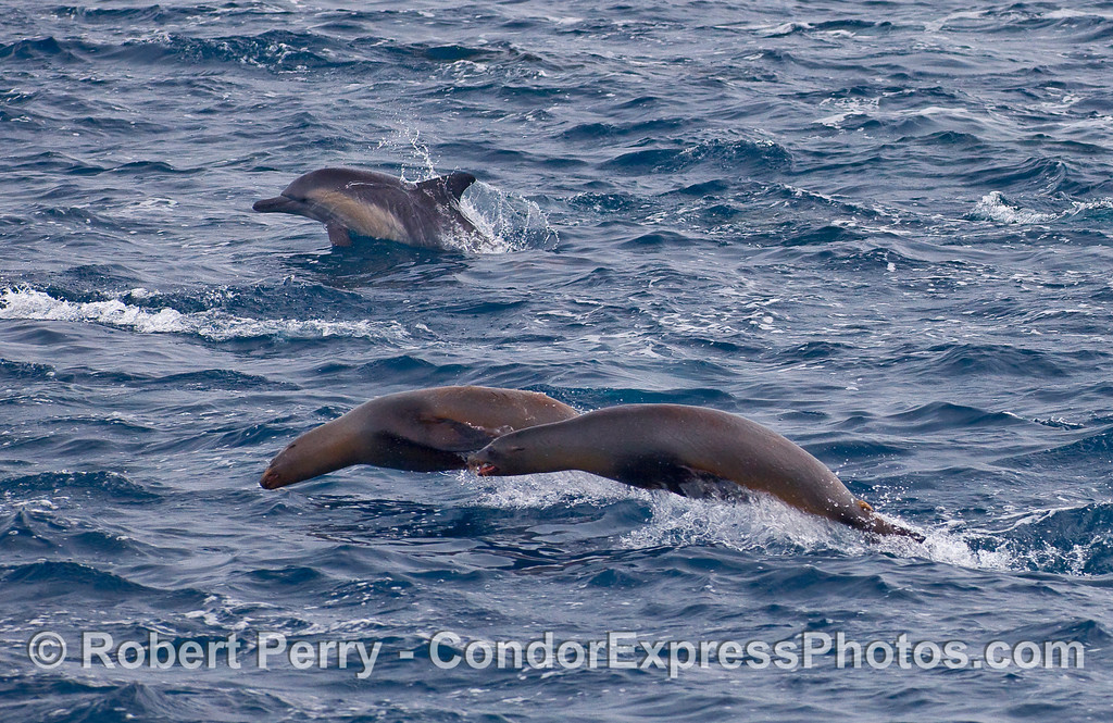 A Common Dolphin (Delphinus capensis) and two brown, furry dolphin imitators:  California Sea Lions (Zalophus californianus).