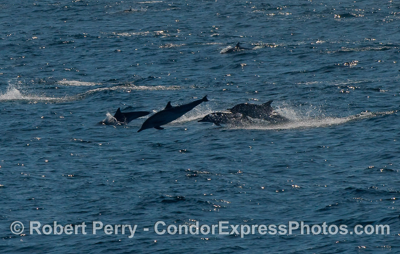 Common Dolphins (Delphinus capensis) on the move.