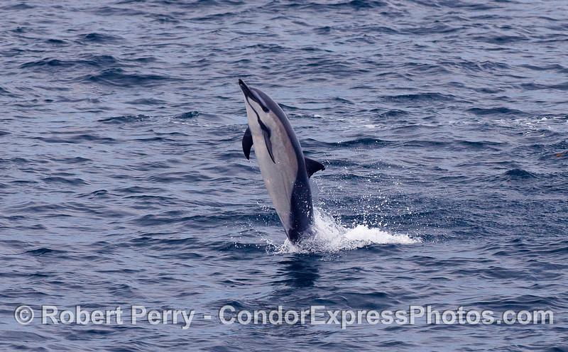 Common Dolphin (Delphinus capensis).
