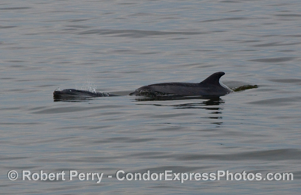 Two Bottlenose Dolphins (Tursiops truncatus) very close to shore.