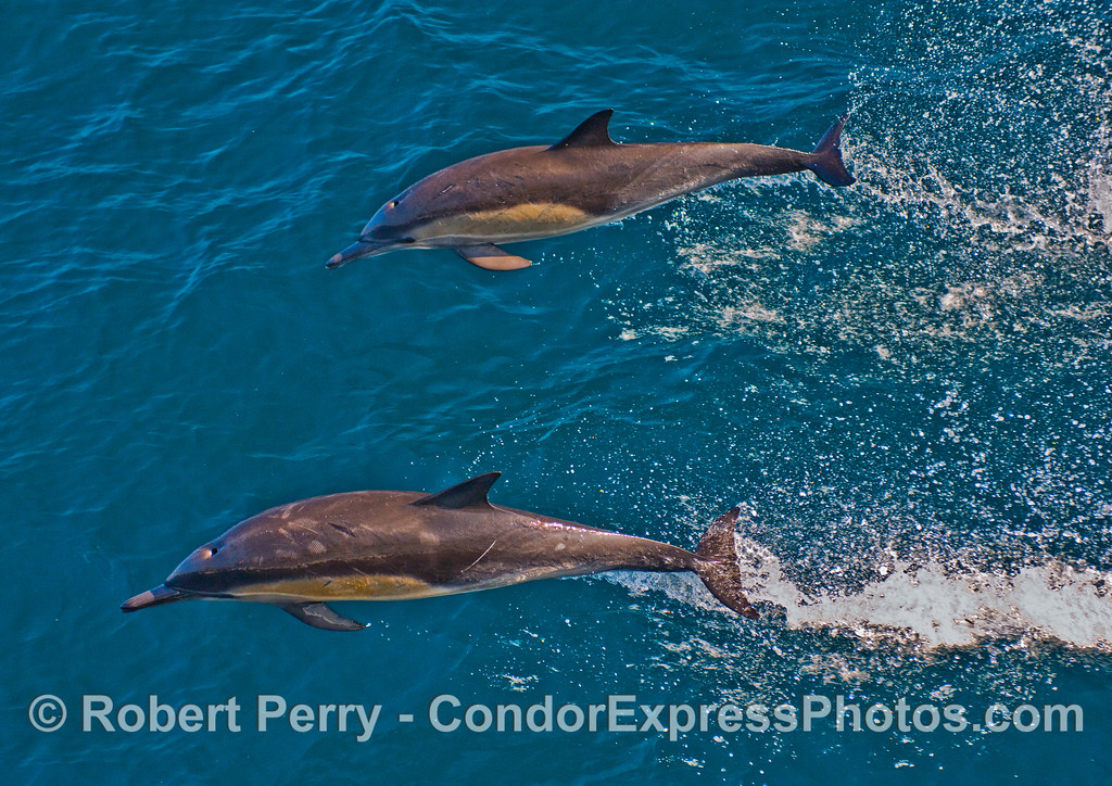 Two high-flying Common Dolphins (Delphinus capensis).