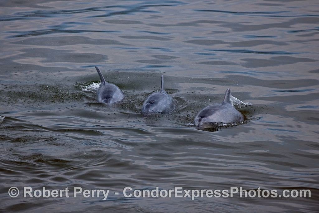 Three Bottlenose Dolphins (Tursiops truncatus) heading towards the Condor Express.