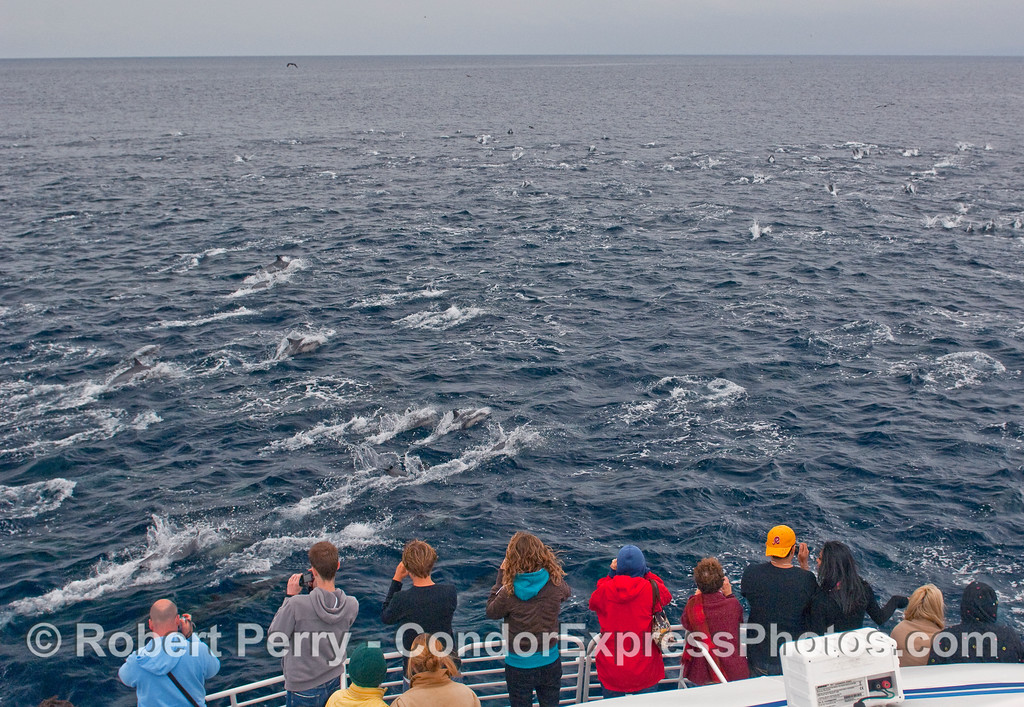 A large pod of Common Dolphins (Delphinus capensis).  When we first encounterd this pod, the dolphins were a bit more spread out and very calm, slowly moving through the water to the east.  After 20 minutes or so it was like somebody flipped a switch and they went into high speed mode, packed closer together and zoomed to the west.