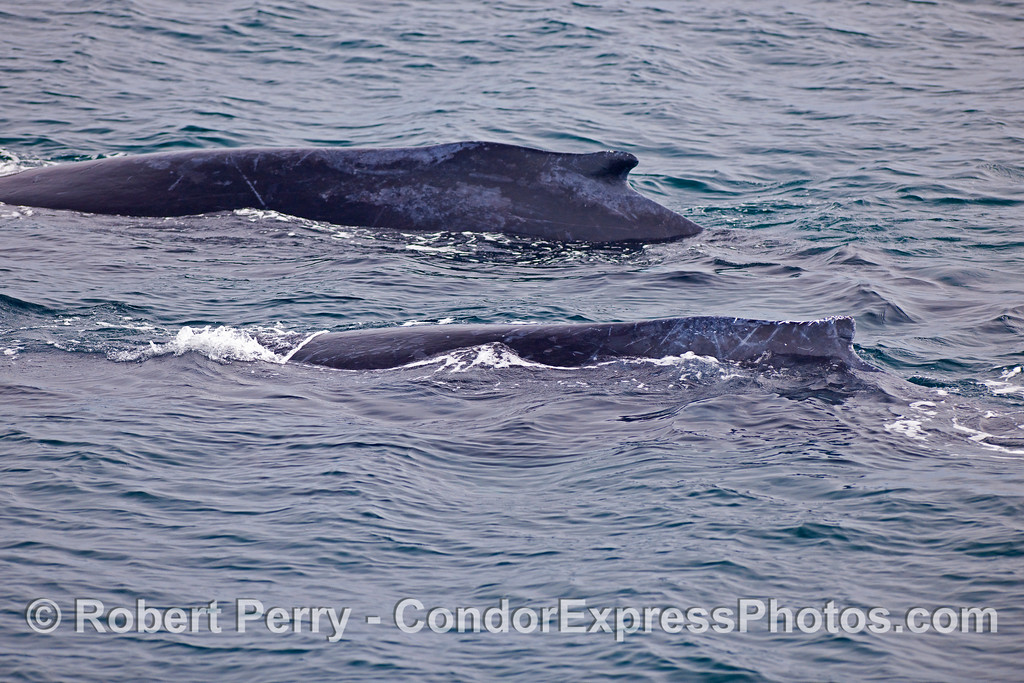 Two Humpback Whale (Megaptera novaeangliae) humps.