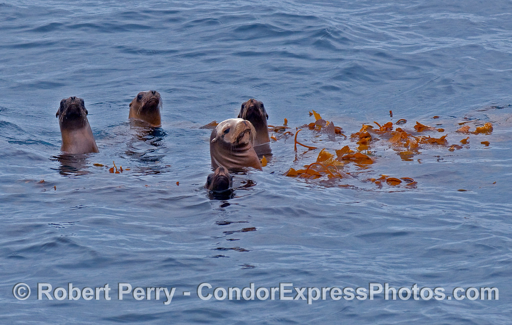 Five long necks and whiskers of these nosey California Sea Lions (Zalophus californianus) taking a long look at the Condor Express.