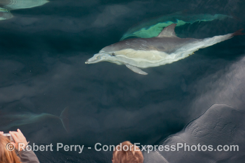 A Common Dolphin (Delphinus capensis) takes a look at the people from underwater.