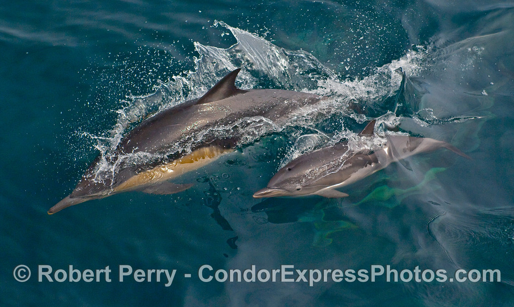 A Common Dolphin (Delphinus capensis) with her calf.