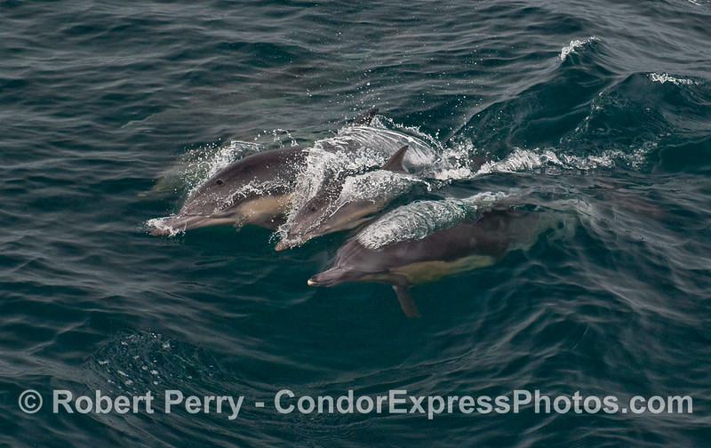 Calf rides a wave in between two adult Common Dolphins (Delphinus capensis).