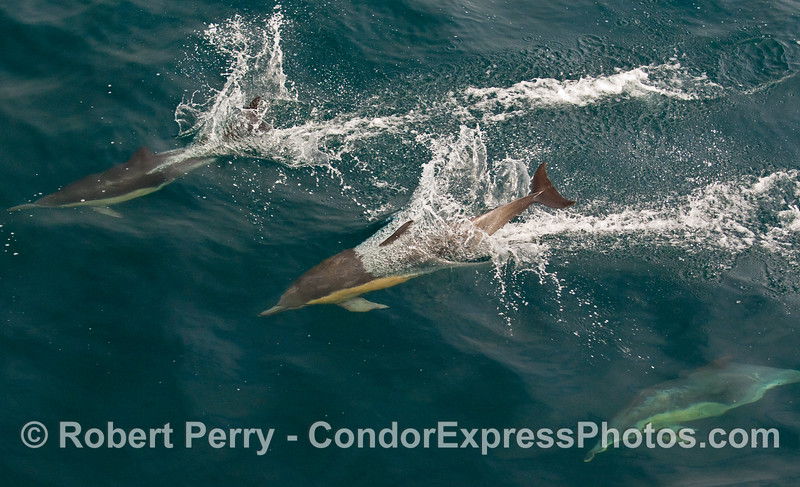An unusual perspective look at a Common Dolphin (Delphinus capensis) with its front half under the clear blue water, and its tail still up in the air preparing to slap the surface.