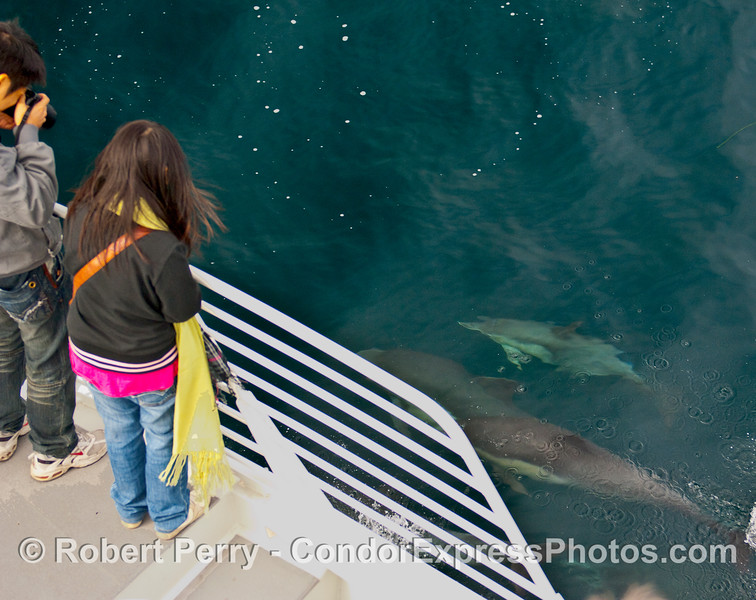 A Common Dolphin (Delphinus capensis) cow and her calf visit the whalers on board the Condor Express.