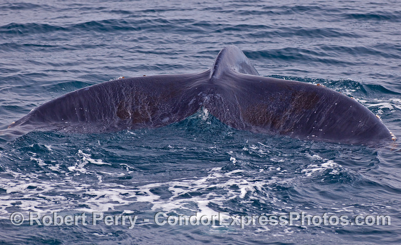 Looking directly astern at the broad and powerful tail flukes of a Humpback Whale (Megaptera novaeangliae).