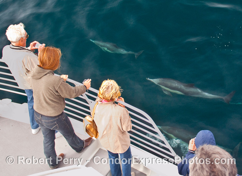 Whalers on the Condor Express get a close visit by some Common Dolphins (Delphinus capensis).
