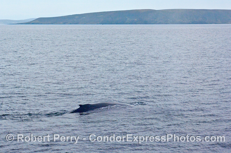 Wide angle view of a Humpback Whale (Megaptera novaeangliae) with Santa Rosa Island in the background.
