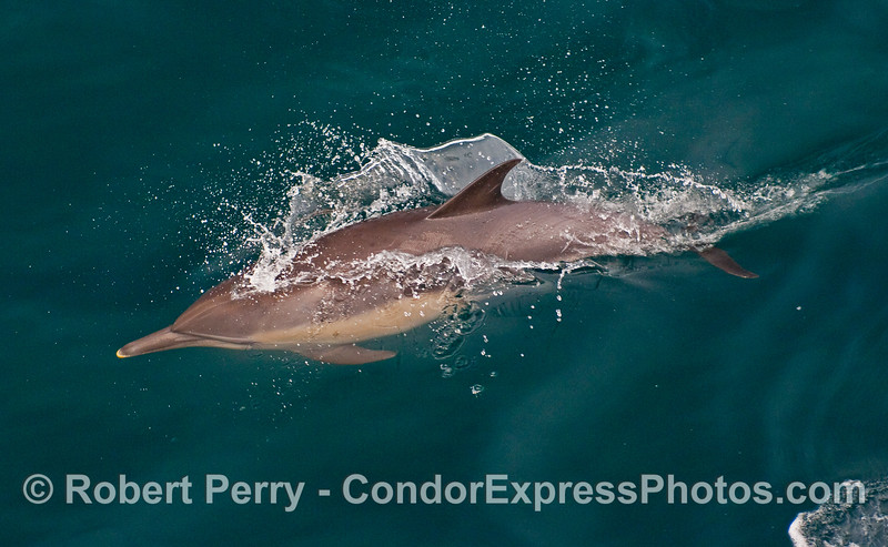 A speeding Common Dolphin (Delphinus capensis).