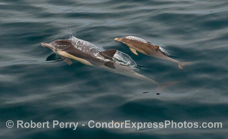 Mother Common Dolphin (Delphinus capensis) and her calf.