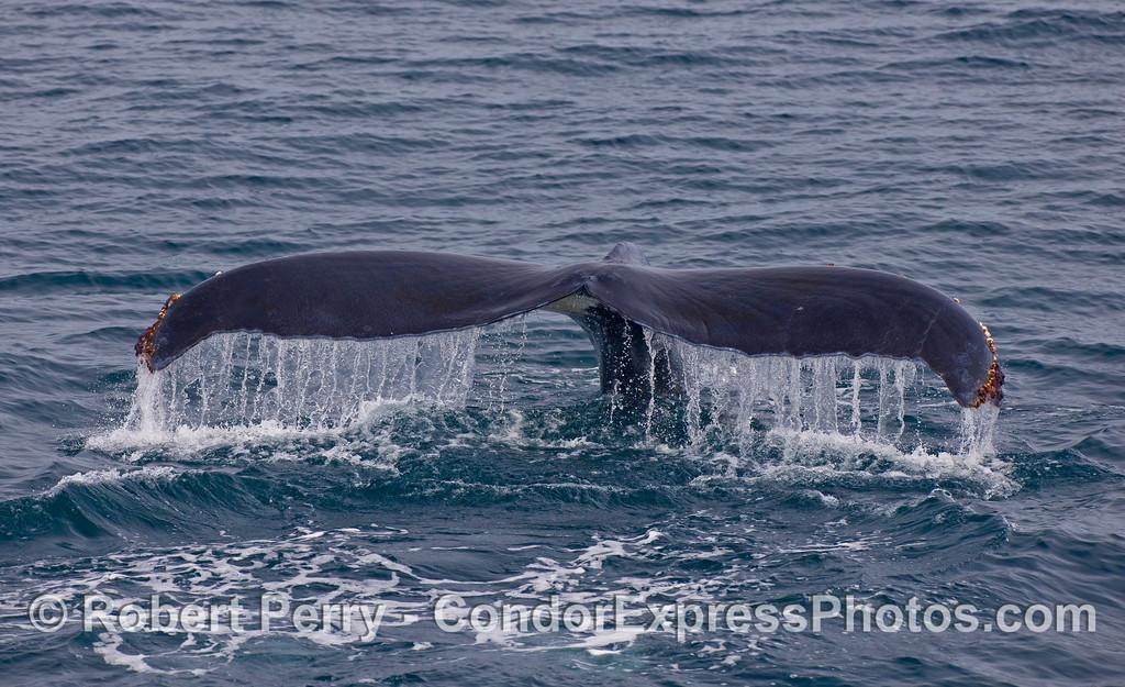 Humpback Whale (Megaptera novaeangliae) tail fluke waterfall.