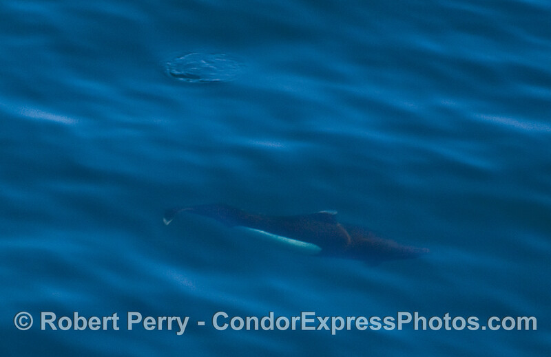 An elusive and shy Dall's Porpoise (Phocoenoides dalli), seen underwater.