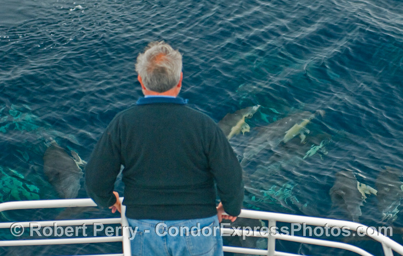 Whaler on the bow of the Condor Express gets a close look at the Common Dolphins (Delphinus capensis).