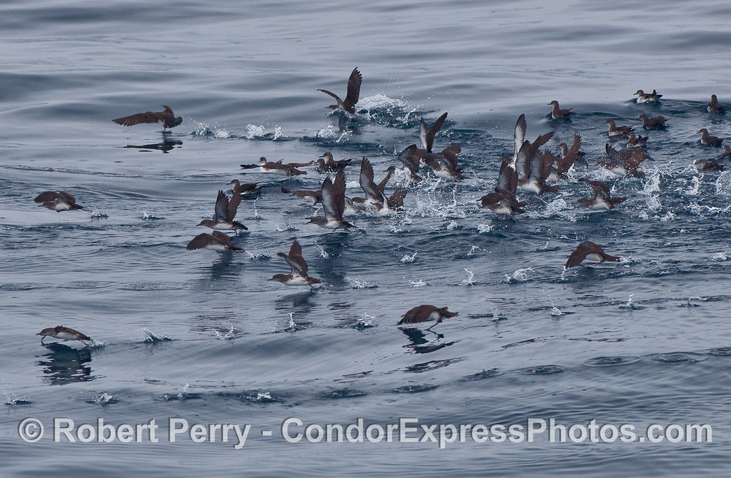 Black vented shearwaters (Puffinus opisthomelas) take off as a group as the Condor Express passes by.