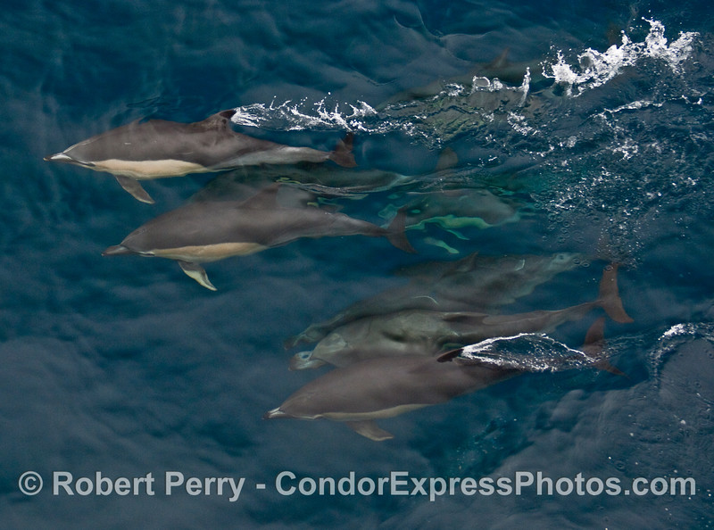 Four or five warm-blooded torpedos, Common Dolphin (Delphinus capensis).
