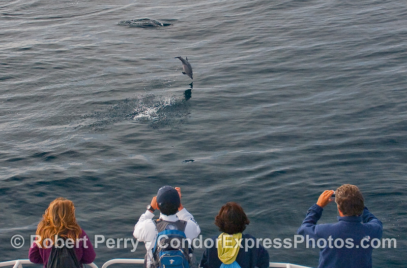 Whalers get to see a zany Common Dolphin (Delphinus capensis) first hand.