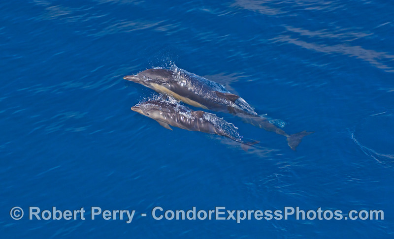 Mother and her calf - Common Dolphins (Delphinus capensis).