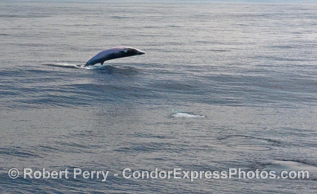 Breaching MInke Whale (Balaenoptera acutorostrata) part 3.
