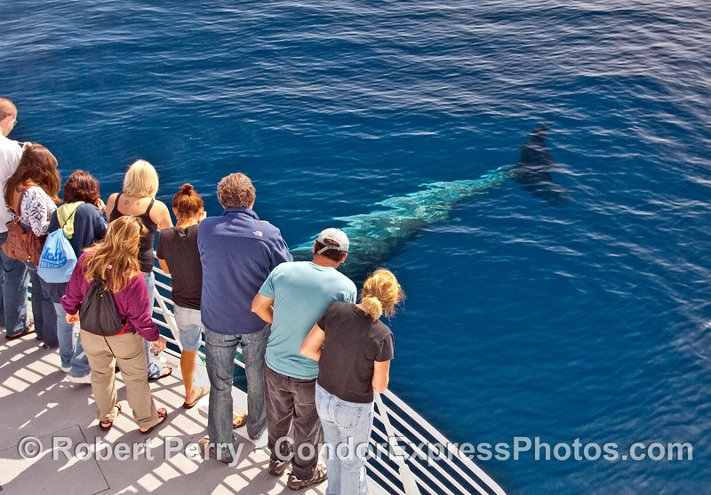 Minke Whale (Balaenoptera acutorostrata) rubs up agains the bow of the Condor Express in crystal clear blue water.