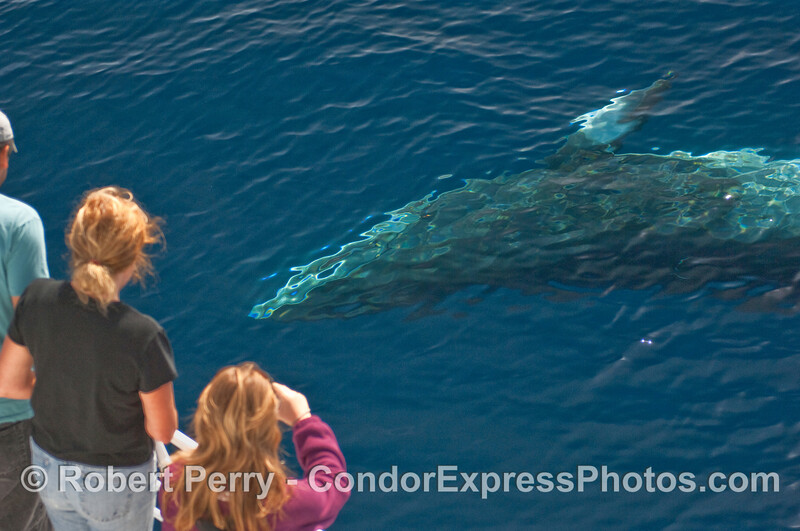 This friendly Minke Whale (Balaenoptera acutorostrata) is shown starting to roll over and rub up alongside the bow of the Condor Express, to the amazement of whalers and your photographer alike.