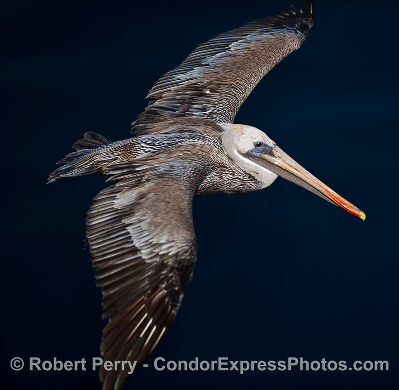 A Brown Pelican (Pelecanus occidentalis) as viewed from above.