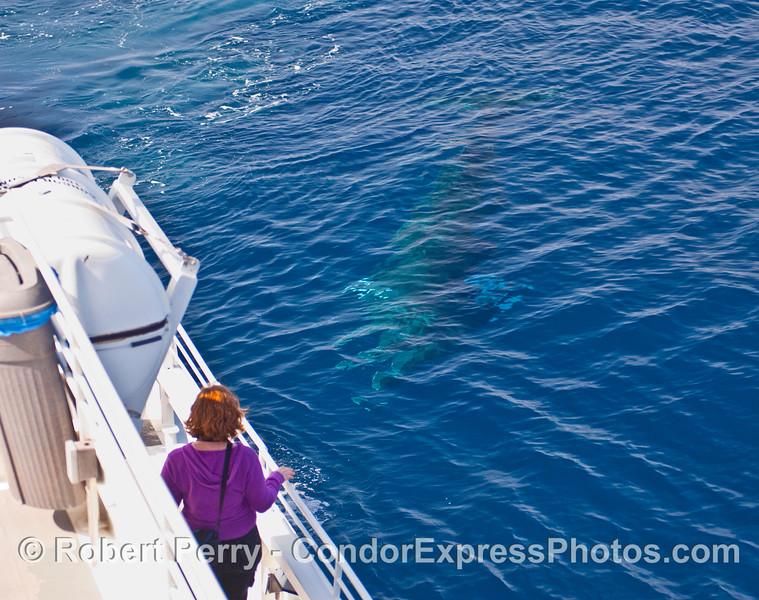 Minke Whale (Balaenoptera acutorostrata) approaching the boat.