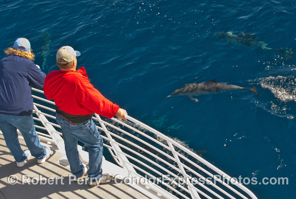 Whalers on the Condor Express get a close look at a Common Dolphin (Delphinus capensis).