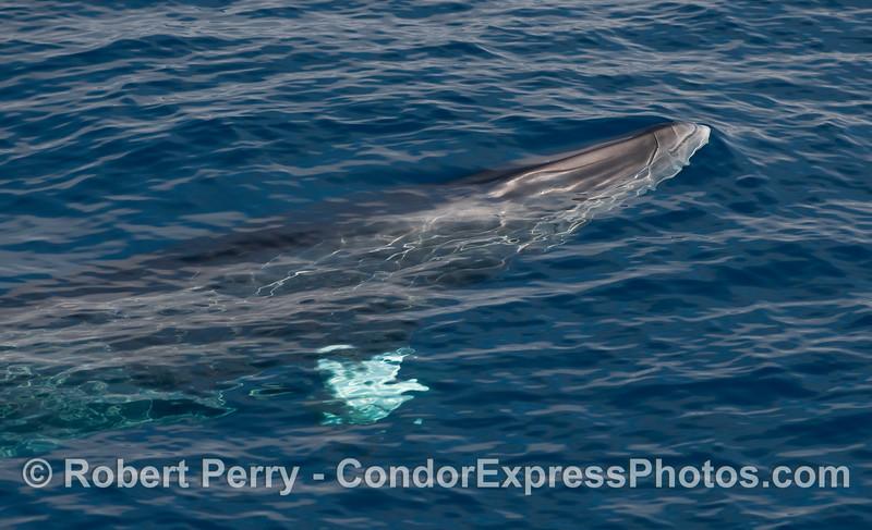 Surfacing MInke Whale (Balaenoptera acutorostrata).