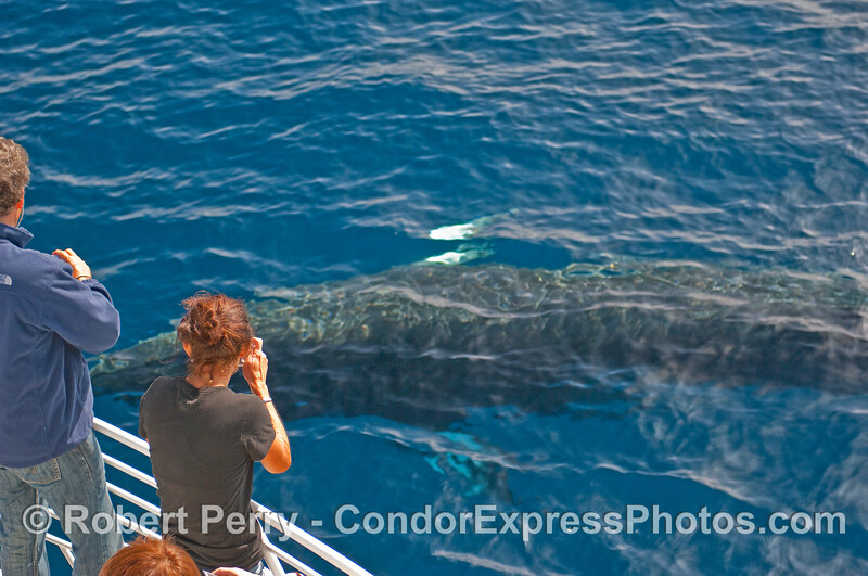 Incoming MInke Whale (Balaenoptera acutorostrata) prepares to roll over and mess with the whalers minds.