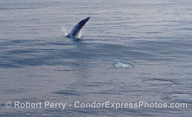 Breaching MInke Whale (Balaenoptera acutorostrata) part 1.