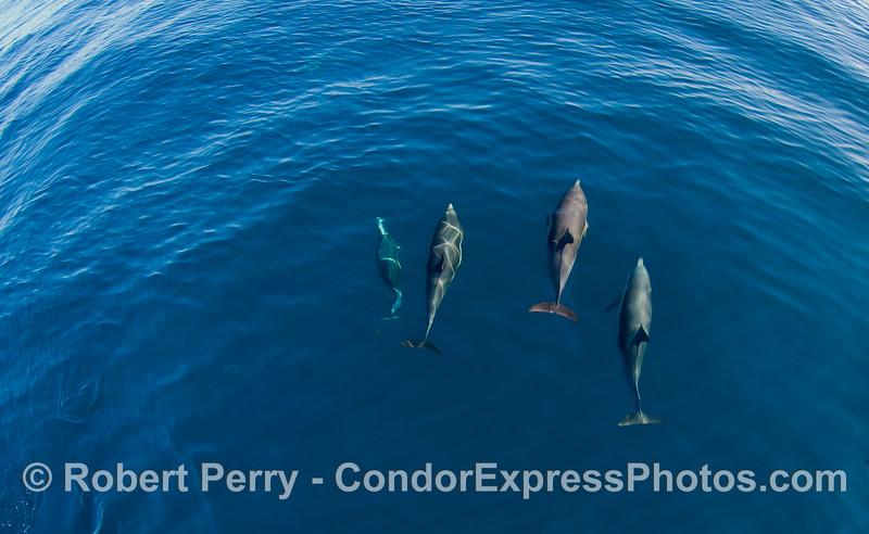 A squadron of four Common Dolphins (Delphinus capensis) on a blue landscape.