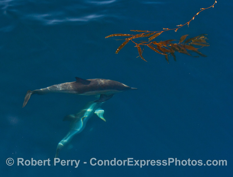Common Dolphins (Delphinus capensis) with Giant Kelp (Macrocystis pyrifera).