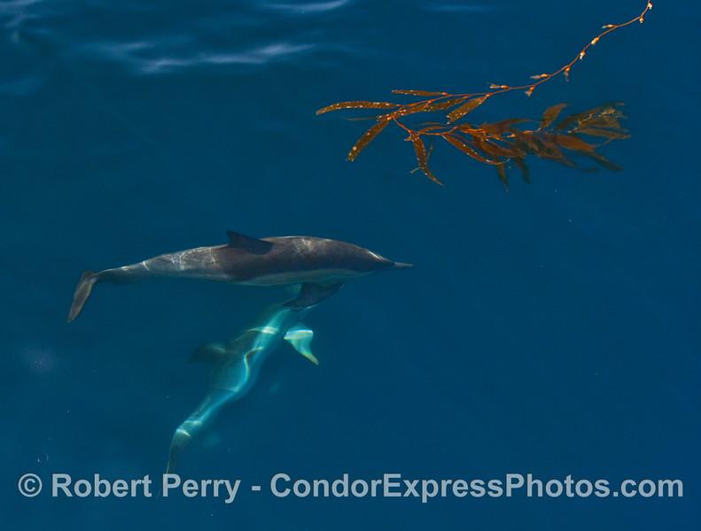 Common Dolphins (Delphinus capensis) with Giant Kelp (Macrocystis pyrifera).