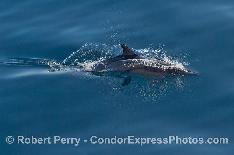 Breaking mirror glass -- a Common Dolphin (Delphinus capensis) streaks past.