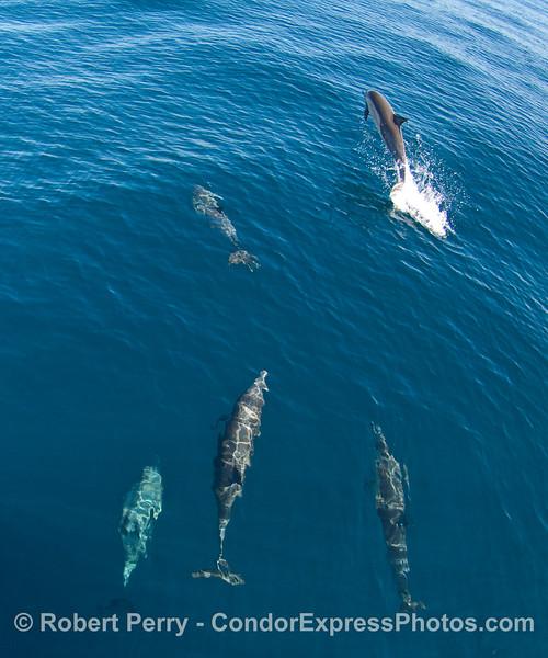 More fun loving Common Dolphins (Delphinus capensis).