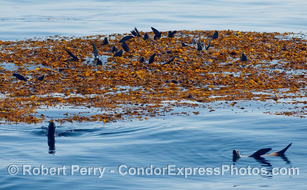 California Sea Lions (Zalophus californianus) rafting as a group in a mass of Giant Kelp (Macrocystis pyrifera).