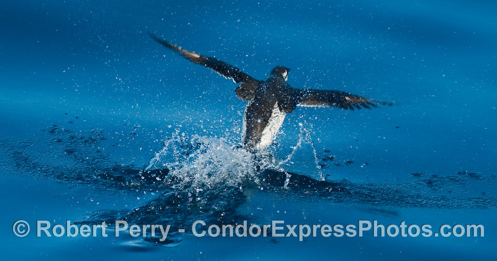 A Common Murre (Uria aalge) came up from a deep dive and immediately took flight over the glassy blue water.