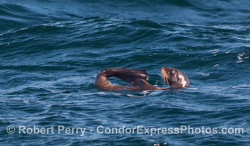 """A long-whiskered Northern Fur Seal (Ursinus callorhinus) rafts on the open ocean in the characteristic """"jug handle"""" position."""